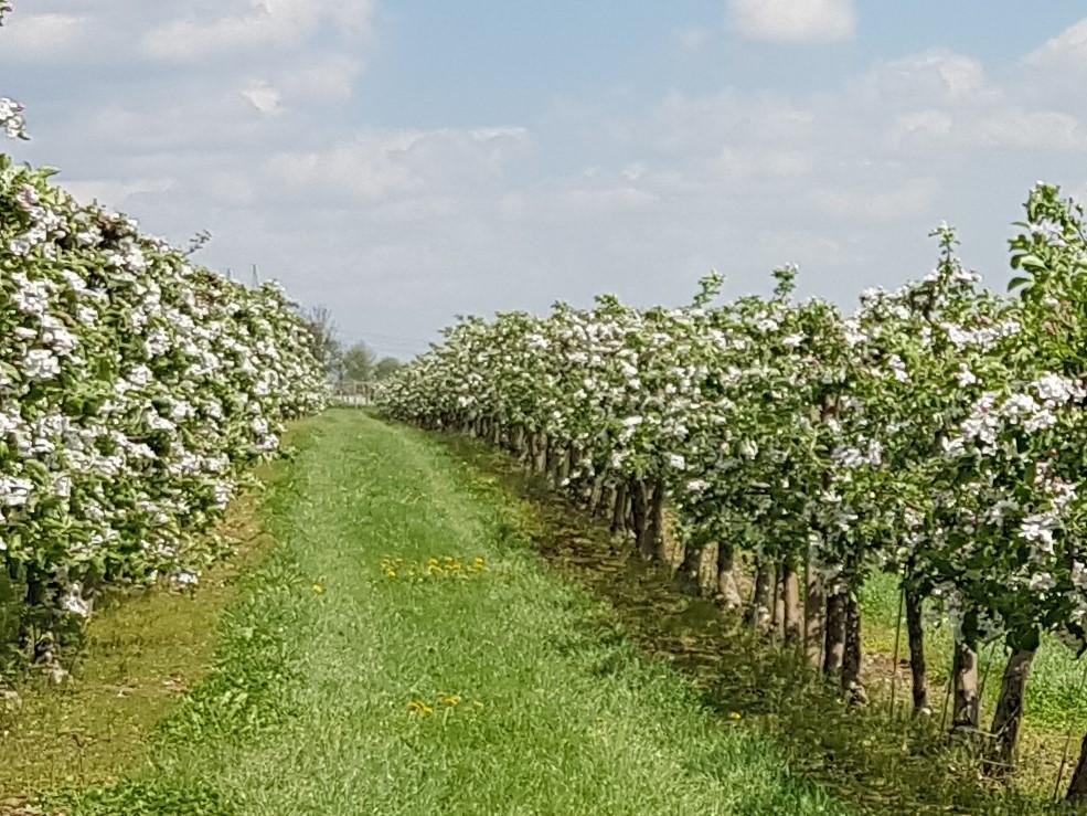 Naše ovocné stromy na jaře