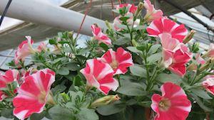 Produkce květin stoupá, loni vzrostla na rekordních 2,17 miliardy