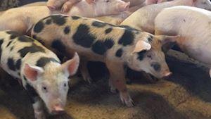 Zemědělská společnost Kosova Hora, a.s. - jatka Sedlčany - profilová fotografie