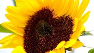Květiny Slunečnice