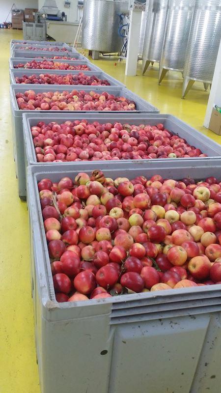 Jablka na lisování moštu