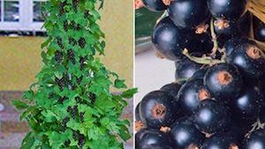 Sloupové odrůdy