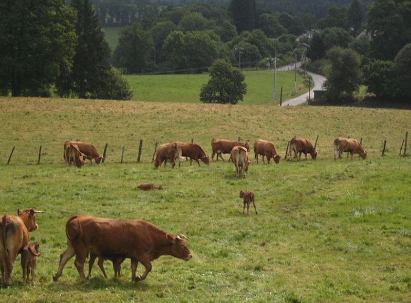Limousinský skot